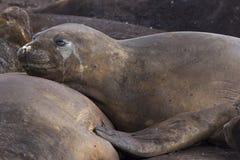 休息的海狮在南极洲 免版税库存照片