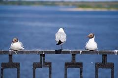 休息的海鸥 库存照片