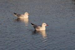 休息的海鸥 免版税图库摄影