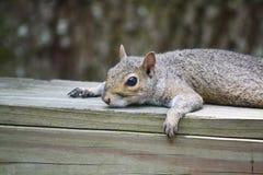 休息的灰鼠 免版税库存图片