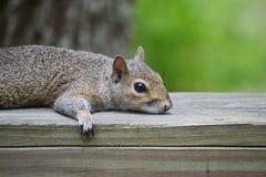 休息的灰鼠 库存照片