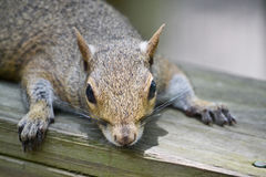 休息的灰鼠 库存图片