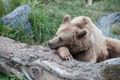 休息的熊 免版税库存图片