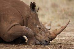 休息的犀牛白色 免版税库存照片