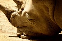 休息的犀牛 库存照片