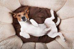 休息的狗睡觉或 库存照片