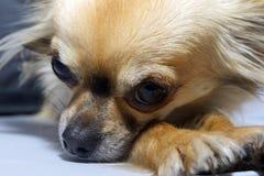 休息的狗 库存照片
