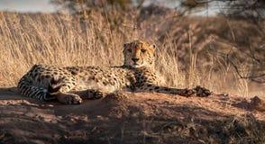 休息的猎豹在Mantobeni,南非 库存照片