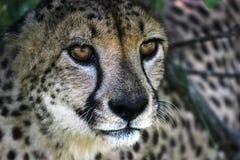 休息的猎豹, Umfolozi,南非 2005年 免版税库存照片