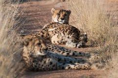 休息的猎豹 免版税库存照片