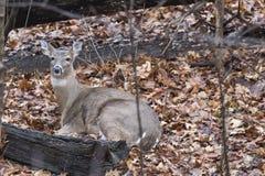 休息的白尾鹿 库存照片