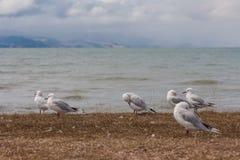 休息的红开帐单的海鸥 库存照片