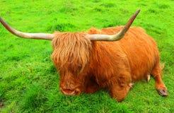 休息的红色高地母牛,苏格兰 库存图片