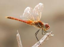 休息的红色蜻蜓 免版税图库摄影