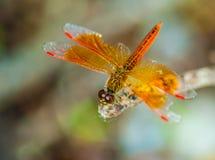 休息的红色蜻蜓 库存照片