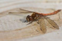 休息的蜻蜓 库存图片