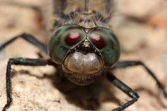 休息的蜻蜓 库存照片