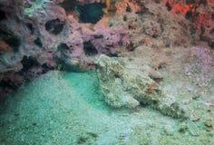 休息的蝙蝠鱼-石灰石礁石 库存图片