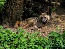 休息的被察觉的鬣狗 库存图片