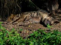 休息的被察觉的鬣狗 免版税库存图片