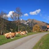 休息的西门塔尔牛母牛在瑞士阿尔卑斯 库存照片