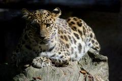 休息的豹子 免版税库存图片