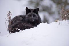 休息的银狐 免版税库存图片
