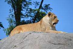 休息的雌狮在阳光下 免版税库存照片