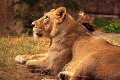 休息的雌狮 库存图片