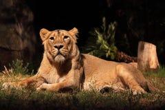 休息的雌狮 免版税库存图片