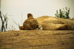 休息的雌狮 库存照片