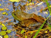 休息的青蛙 库存照片