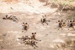 休息的非洲豺狗在克留格尔国家公园,南Afr 免版税库存照片