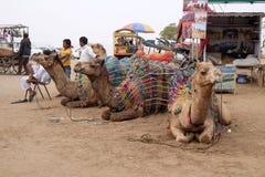 休息的骆驼,当了不起的印地安人的塔尔沙漠等待的游人在普斯赫卡尔附近时, 库存照片