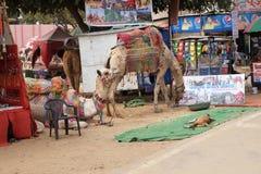 休息的骆驼,当了不起的印地安人的塔尔沙漠等待的游人在普斯赫卡尔附近时, 免版税库存图片