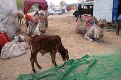 休息的骆驼,当等待了不起的印地安人的塔尔沙漠游人在普斯赫卡尔附近时 库存图片