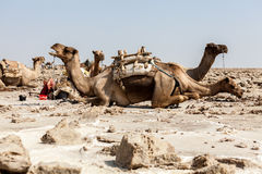 休息的骆驼, Danakil沙漠,埃塞俄比亚 免版税图库摄影