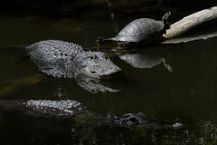 休息的鳄鱼和的乌龟,游泳,大赛普里斯全国PR 库存照片