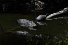 休息的鳄鱼和的乌龟,游泳,大赛普里斯全国PR 免版税库存照片
