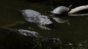 休息的鳄鱼和的乌龟,游泳,大赛普里斯全国PR 免版税图库摄影