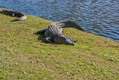 休息的鳄鱼在阳光下 免版税库存照片