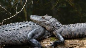 休息的鳄鱼,大赛普里斯全国蜜饯,佛罗里达 免版税库存图片