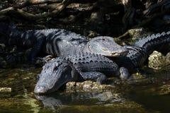 休息的鳄鱼,大赛普里斯全国蜜饯,佛罗里达 库存图片