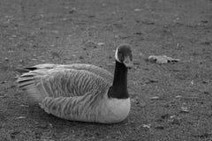 休息的鸭子 库存图片