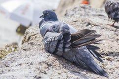 休息的鸽子在阳光下 免版税库存图片