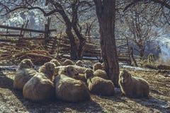 休息的绵羊 库存照片