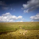 休息的绵羊 免版税图库摄影