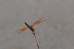 休息的黄色蜻蜓 库存图片