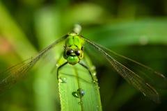休息的绿色蜻蜓 库存图片