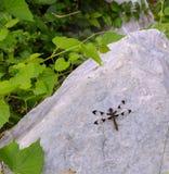 休息的蜻蜓 免版税库存图片